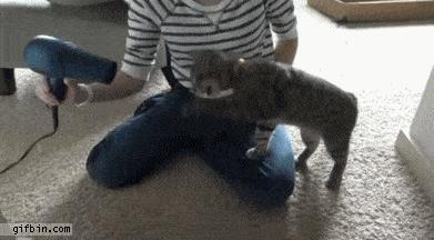 1319131856_blind_cat_vs_hairdryer